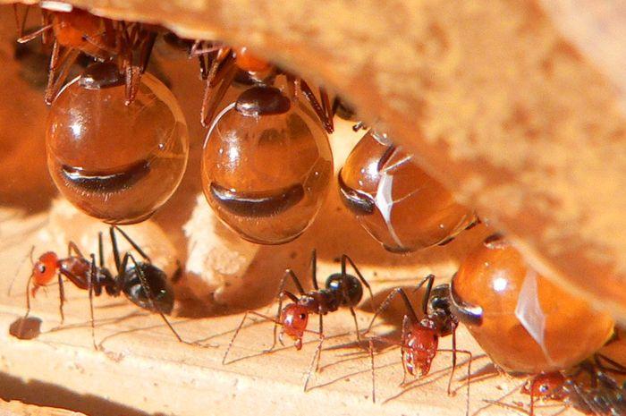 Fakta Mengejutkan Telur Semut Memiliki Manfaat Bagi Kesehatan
